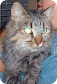 Domestic Longhair Cat for adoption in Muskogee, Oklahoma - Sandi