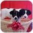 Photo 1 - Labrador Retriever/Border Collie Mix Puppy for adoption in Burnsville, North Carolina - Marlon & Chips