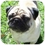 Photo 2 - Pug Dog for adoption in League City, Texas - Oliver