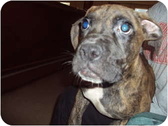 Boxer Mix Dog for adoption in Weeki Wachee, Florida - Tic Tac