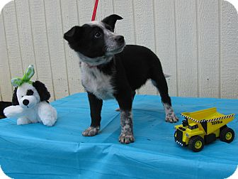 Feist/Australian Cattle Dog Mix Puppy for adoption in Humboldt, Tennessee - Panda