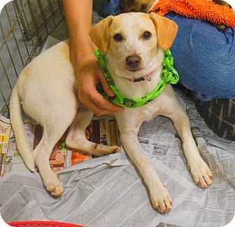 Whippet/Dachshund Mix Puppy for adoption in Buford, Georgia - Sugar