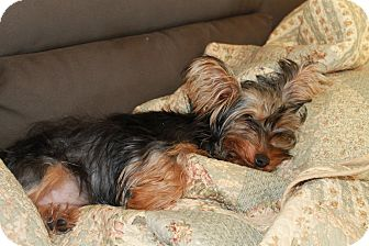 Yorkie, Yorkshire Terrier Dog for adoption in Plano, Texas - Amelia