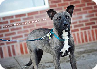 Shepherd (Unknown Type) Mix Dog for adoption in Kimberton, Pennsylvania - Maui