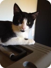Domestic Shorthair Kitten for adoption in Sarasota, Florida - Jacob
