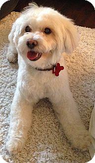 Maltese/Poodle (Miniature) Mix Dog for adoption in Encino, California - Austin