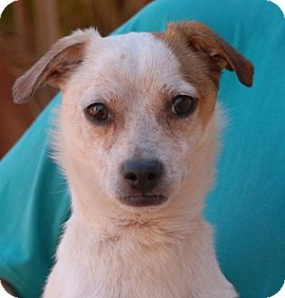 Jack Russell Terrier/Chihuahua Mix Puppy for adoption in Las Vegas, Nevada - Garth
