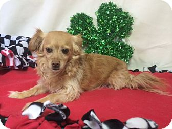 Pomeranian/Dachshund Mix Dog for adoption in Pahrump, Nevada - Jäger