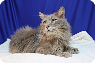 Maine Coon Cat for adoption in Midland, Michigan - Guryon - FIV Pos - NO FEE