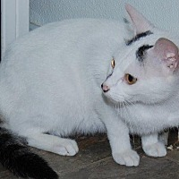 Domestic Shorthair Cat for adoption in Brainardsville, New York - Buttons