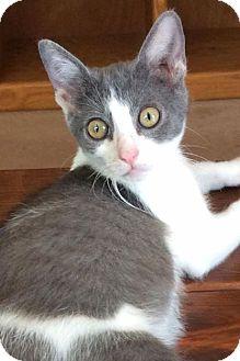 Domestic Shorthair Kitten for adoption in Audubon, New Jersey - Sophia