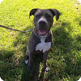 American Pit Bull Terrier/American Pit Bull Terrier Mix Dog for adoption in Houston, Texas - Emy