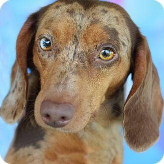 Dachshund Mix Dog for adoption in Denver, Colorado - Violet