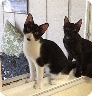 Domestic Shorthair Cat for adoption in San Antonio, Texas - Brayden
