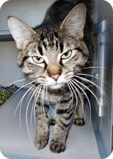 Domestic Shorthair Cat for adoption in Waupaca, Wisconsin - Kiki