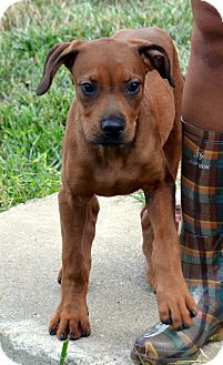 Boxer Mix Puppy for adoption in Elyria, Ohio - Kennel #29