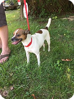 Chihuahua/Jack Russell Terrier Mix Dog for adoption in St. Catharines, Ontario - Penelope