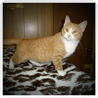 Domestic Shorthair Cat for adoption in Medford, Wisconsin - BARRETT