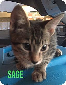 Domestic Mediumhair Kitten for adoption in Glendale, Arizona - SAGE