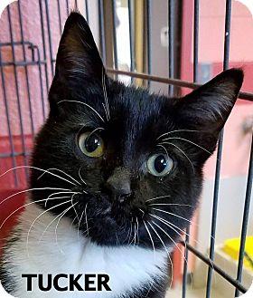 Domestic Shorthair Cat for adoption in Lapeer, Michigan - Tucker