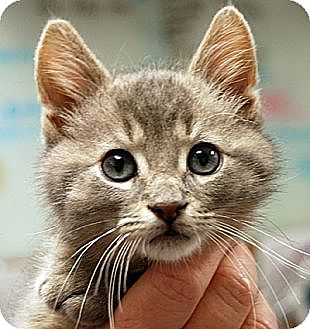 Domestic Mediumhair Kitten for adoption in Huntley, Illinois - Andy