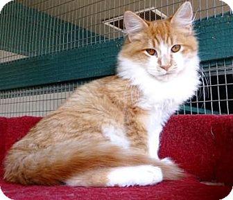 Domestic Longhair Kitten for adoption in Lathrop, California - Cheddar