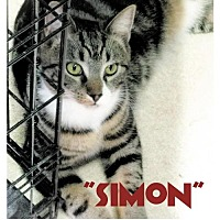 Domestic Shorthair Kitten for adoption in Seaford, Delaware - Simon PENDING ADOPTION