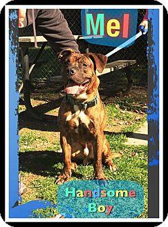Boxer/Mastiff Mix Dog for adoption in Seville, Ohio - Mel