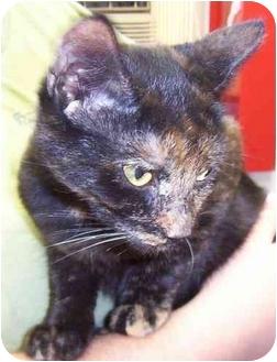 Calico Kitten for adoption in Somerset, Pennsylvania - Lightning
