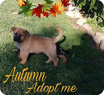 Husky/Chow Chow Mix Puppy for adoption in Hesperia, California - Autumn