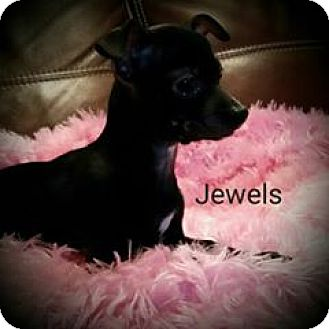 Chihuahua Mix Puppy for adoption in Philadelphia, Pennsylvania - Jewels