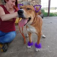 Terrier (Unknown Type, Small)/Hound (Unknown Type) Mix Dog for adoption in Schertz, Texas - Mesquite TM