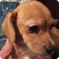 Adopt A Pet :: CRACKER JACK BARKLEY - Waldron, AR