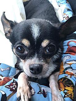 Chihuahua Dog for adoption in Studio City, California - Bailey