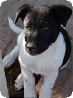 Labrador Retriever Mix Puppy for adoption in tucson, Arizona - Peabody