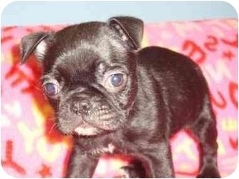 Boston Terrier/Boston Terrier Mix Puppy for adoption in Bristow, Oklahoma - Jughead