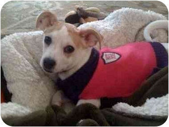 Chinese Crested Mix Puppy for adoption in Foster, Rhode Island - Zena