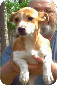 Jack Russell Terrier/Terrier (Unknown Type, Small) Mix Puppy for adoption in Duluth, Georgia - Kenny