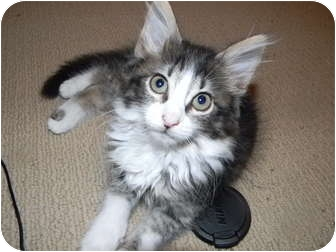 Maine Coon Kitten for adoption in Houston, Texas - Delia (delightful lap kitten
