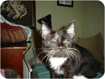 Domestic Shorthair Cat for adoption in Mesquite, Texas - Ramone