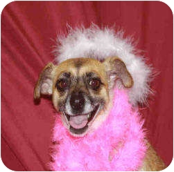 Chihuahua Mix Dog for adoption in San Clemente, California - HOPE