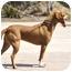 Photo 4 - Pharaoh Hound Mix Dog for adoption in Irvine, California - CHILI