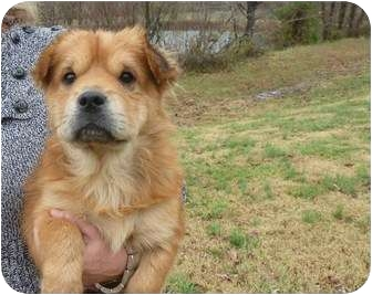 Pekingese/Cavalier King Charles Spaniel Mix Puppy for adoption in Westbrook, Connecticut - Tater Tot