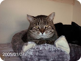 Domestic Shorthair Cat for adoption in NEWCASTLE, California - Scooter