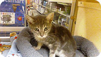 Domestic Shorthair Kitten for adoption in Worcester, Massachusetts - Abby