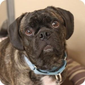 Pug/Beagle Mix Dog for adoption in Naperville, Illinois - Chauncey