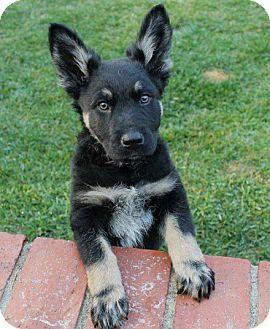 German Shepherd Dog/Rottweiler Mix Puppy for adoption in La Habra Heights, California - Tucker