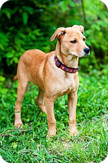 Catahoula Leopard Dog Mix Puppy for adoption in Houston, Texas - MJ