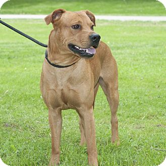 Boxer/Spitz (Unknown Type, Large) Mix Dog for adoption in New Martinsville, West Virginia - Chance (was Chase)