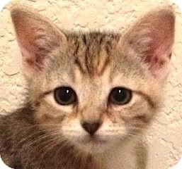 Manx Kitten for adoption in Flagstaff, Arizona - Garnet